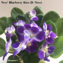 Фиалка Ness' Blueberry Kiss синие звезда Ness