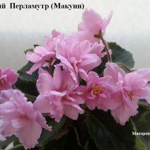 Фиалка Розовый Перламутр фото