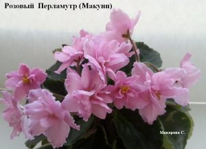 Фиалка Розовый Перламутр розовая Макуни ретро