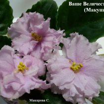 Фиалка Ваше Величество Макуни ретро розовая махровая