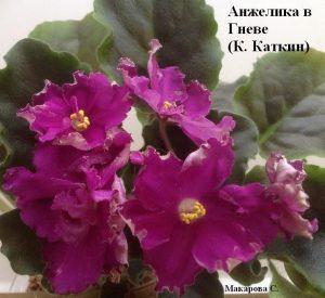 Фиалка Анжелика в Гневе Каткин ретро