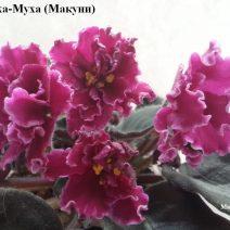 Фиалка Бляха-Муха фото