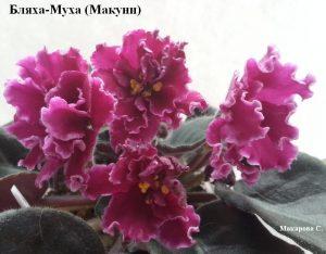 Фиалка Бляха-Муха ретро Макуни оса бордовая