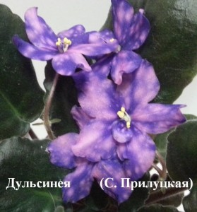 Фиалка Дульсинея Прилуцкая синяя фиолетовая ретро фэнтези
