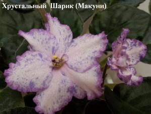 Фиалка Хрустальный Шарик