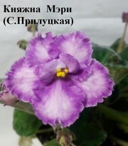 Фиалка Княжна Мэри