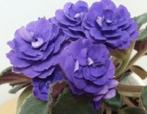 Фиалка Синяя Роза