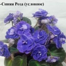 Фиалка У-Синяя Роза фото