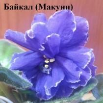 Фиалка Байкал синяя Макуни ретро