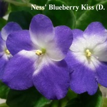 Фиалка Ness' Blueberry Kiss фото