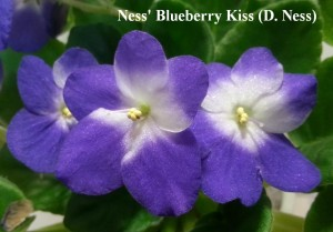 Фиалка Ness' Blueberry Kiss синяя