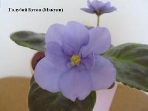 Фиалка Голубой Бутон