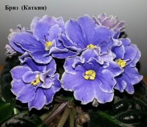 Фиалка Бриз Каткин голубая синяя ретро