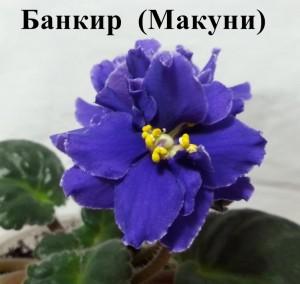 Фиалка Банкир Макуни ретро синяя