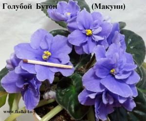 Фиалка Голубой Бутон голубая ретро Макуни