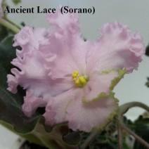Фиалка Ancients Lace фото