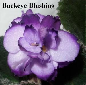 Фиалка Buckeye Blushing