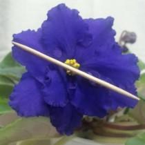 Фиалка синяя Гондурас Макуни синяя ретро