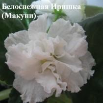 Фиалка Белоснежная Ирмнка / Белоснежная Иришка Макуни ретро