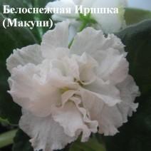 Фиалка Белоснежная Иринка / Белоснежная Иришка фото
