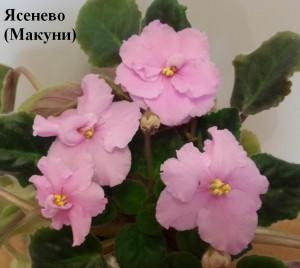 Фиалка Ясенево розовая Макуни ретро