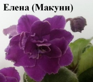 Фиалка Елена