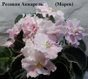 Фиалка Розовая Акварель Морев