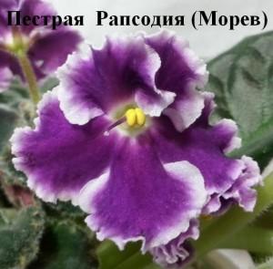 Фиалка Пёстрая Рапсодия Морев белая фиолетовая