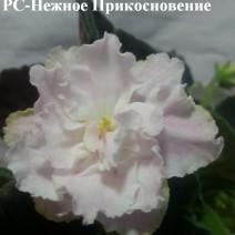 Фиалка РС-Нежное  Прикосновение фото