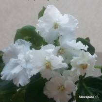 Фиалка Метелица белая Макуни ретро