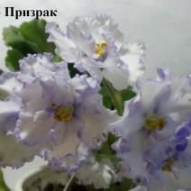 Фиалка РС-Призрак фото
