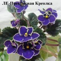 Фиалка Прекрасная Креолка синие Лебецкая
