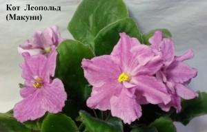 Фиалка Кот Леопольд Макуни ретро розовые