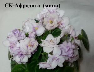 Фиалка Афродита белая мини Кузнецов розовые