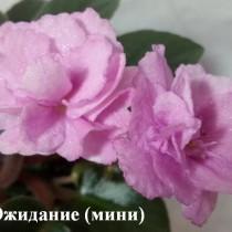 Фиалка Ожидание мини розовые