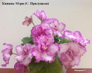 Фиалка Княжна Мэри малиновая розовая Прилуцкая ретро