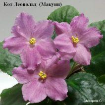 Фиалка Кот Леопольд фото