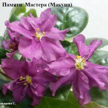 Фиалка Памяти Мастера фото
