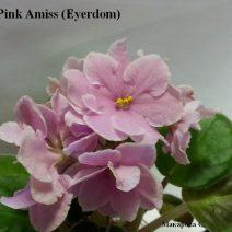 Фиалка Pink Amiss фото
