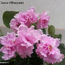 Фиалка Сваха розовая Макуни ретро махровая
