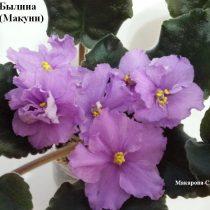 Фиалка Былина Макуни ретро розовые лиловые сиреневые