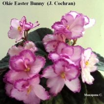 Фиалка Okie Easter Bunny фото