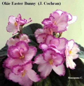 Фиалка Okie Easter Bunny розовая анютка ретро