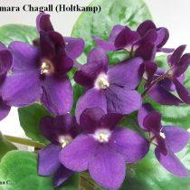 Фиалка Optimara Chagall бордовые вишневые фиолетовые