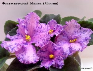 Фиалка Фантастический Мираж Макуни ретро розовая фэнтези