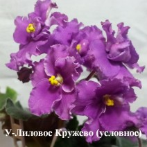Фиалка У-Лиловое Кружево фото