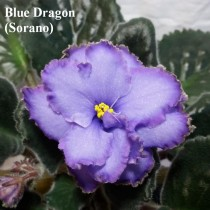 Фиалка Blue Dragon