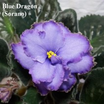 Фиалка Blue Dragon — Синий Дракон фото