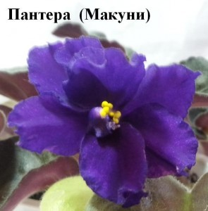 Фиалка Пантера Макуни синяя фиолетовая ретро
