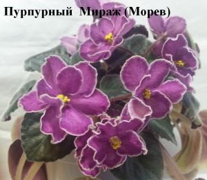 Фиалка Пурпурный Мираж Морев фиолетовая